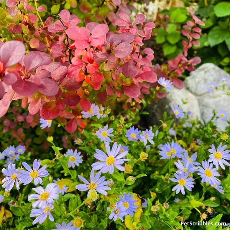 barberry and false asters in the garden
