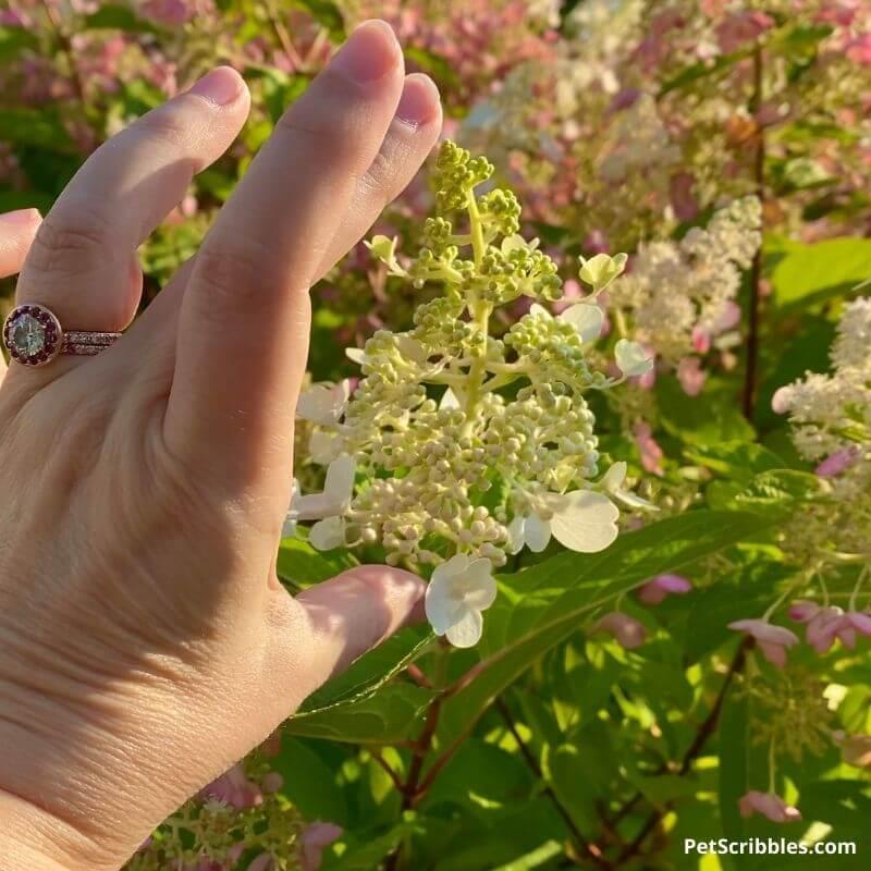 new Pinky Winky flower