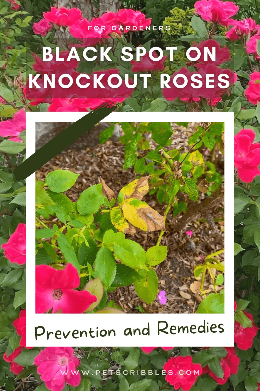 Black Spot on Knockout Roses