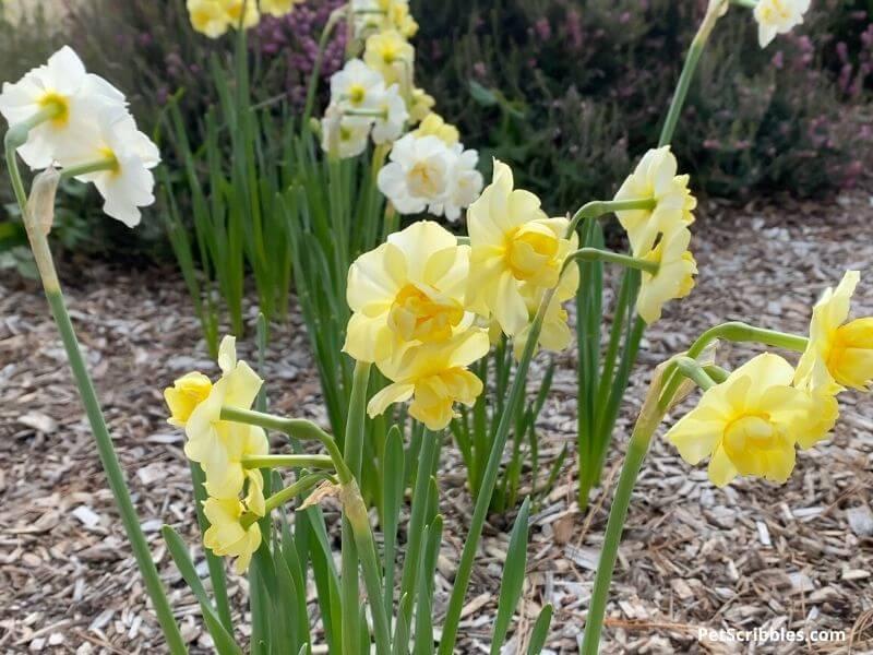 White and Yellow Cheerfulness Daffodils