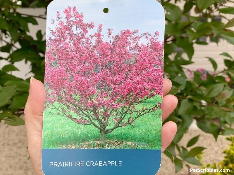 plant tag of a Prairifire Crabapple Tree