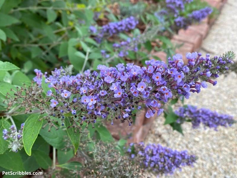 True Blue Butterfly Bush flowers
