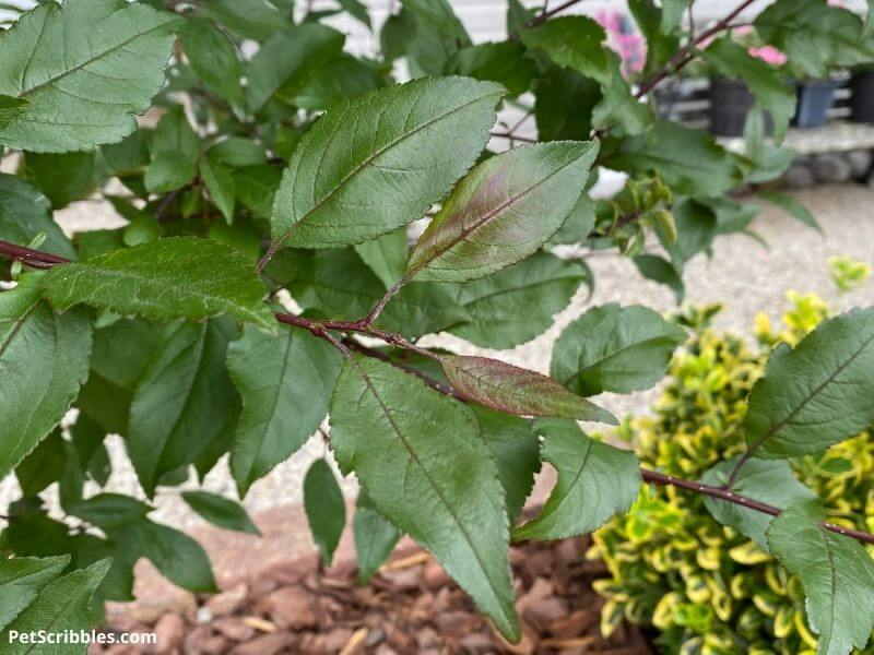 Prairifire Crabapple foliage