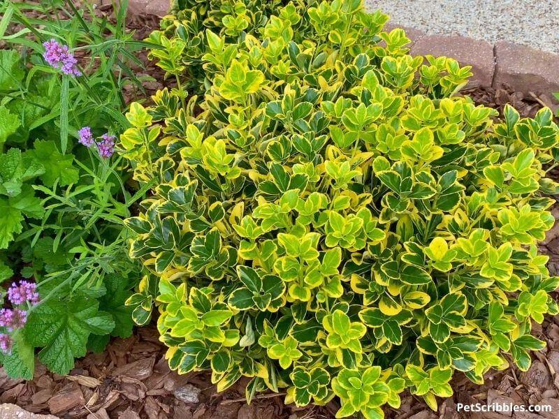 golden euonymus shrub
