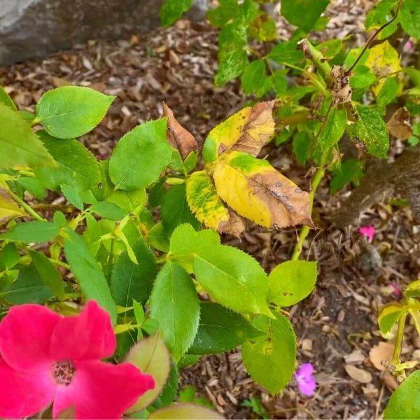 identifying Black Spot on Knockout Roses