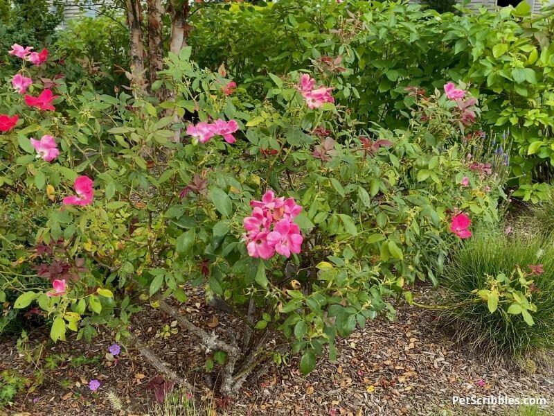 knockout rose with black spot
