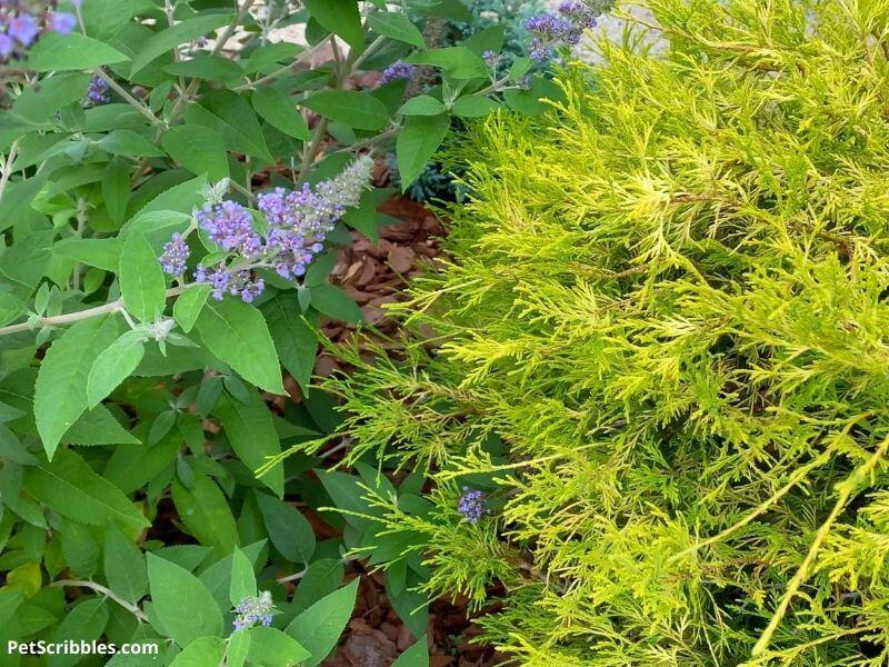 butterfly bush and mop cypress shrub
