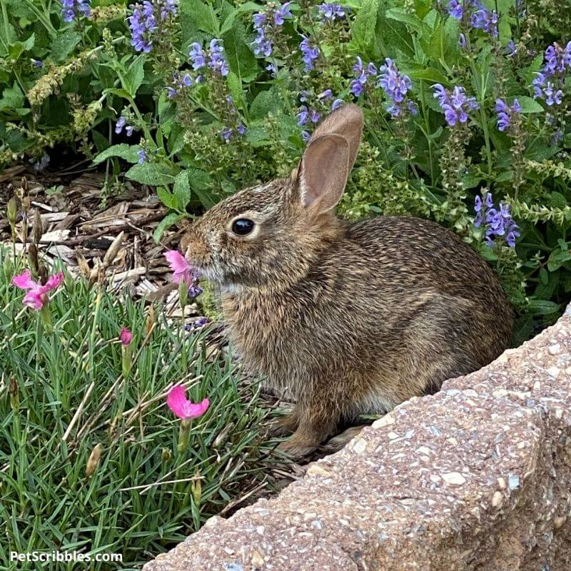 a rabbit eating pink Dianthus flowers