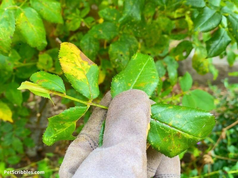 a gloved hand holding diseased knockout rose leaves