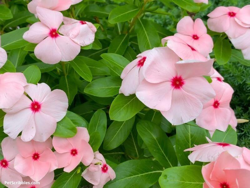 pink annual Vinca flowers
