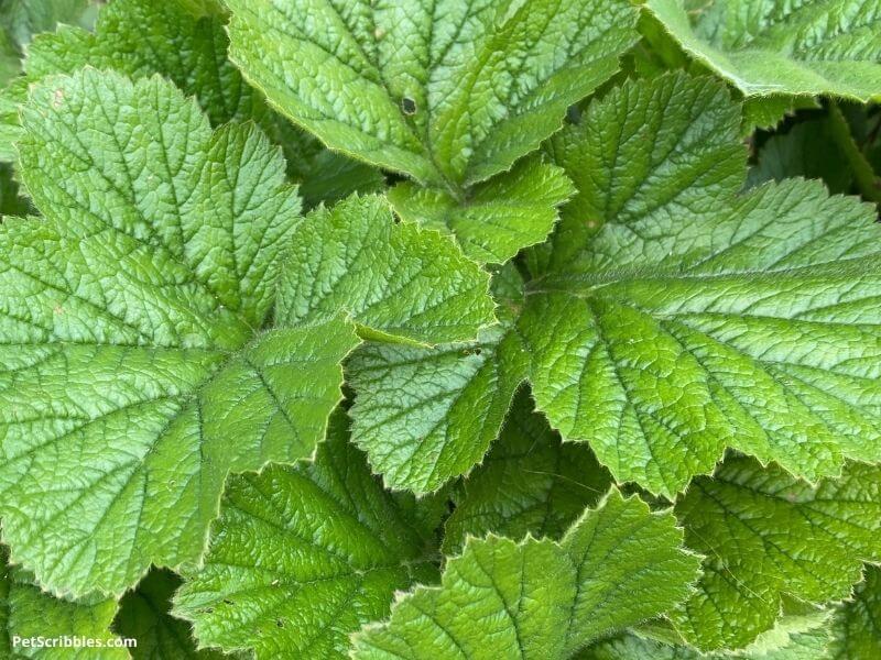 Geum leaves look good in the garden