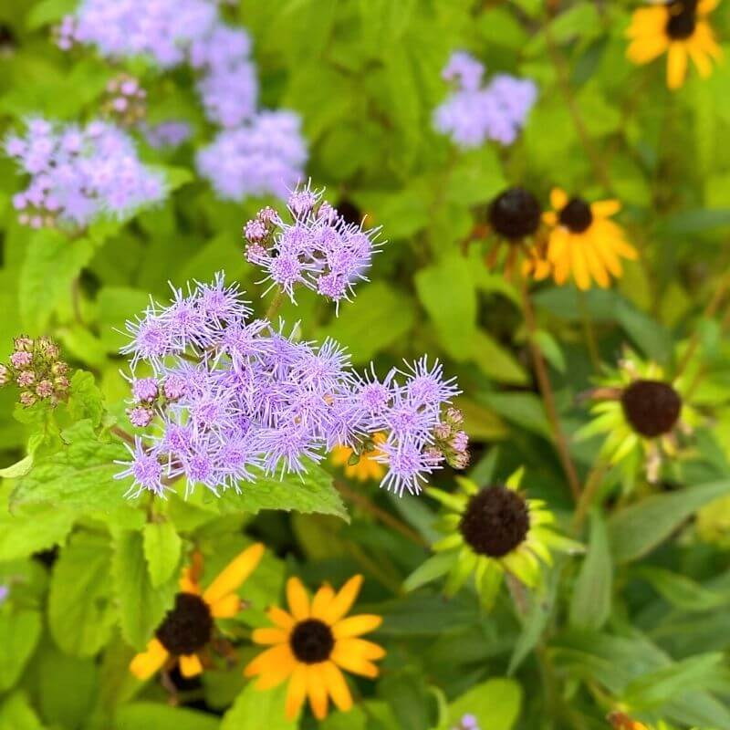 ageratum and black eyed susans