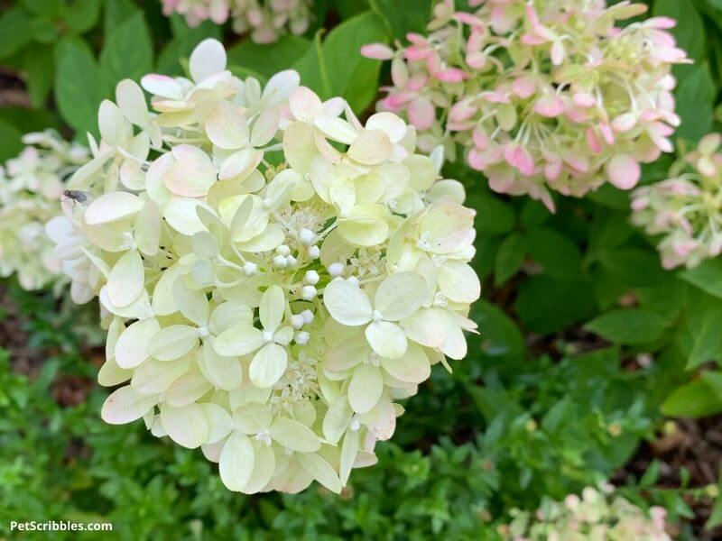pale lime, cream and pink flowers of Little Lime Hydrangeas