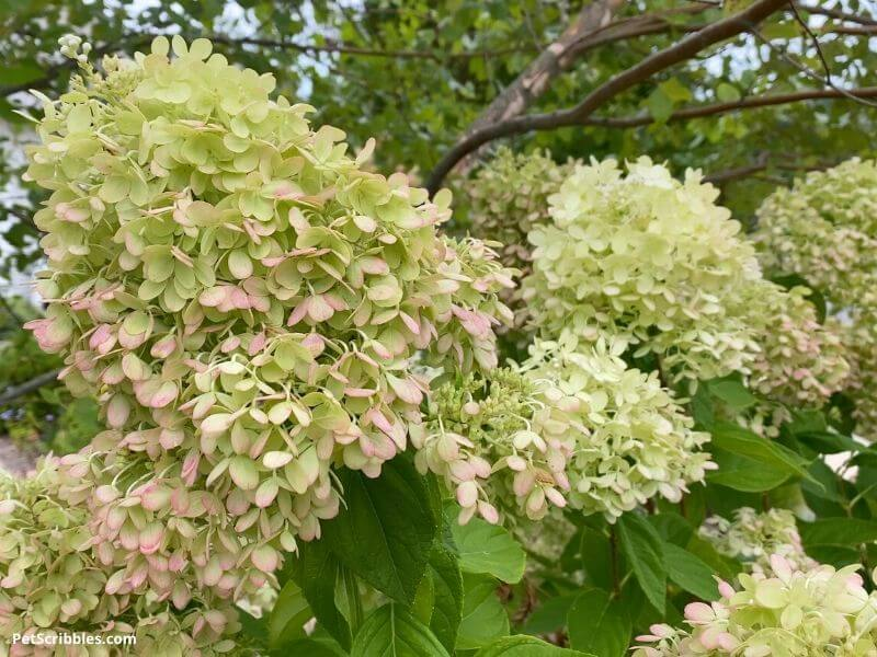 finding the good in your garden can include blooming hydrangeas