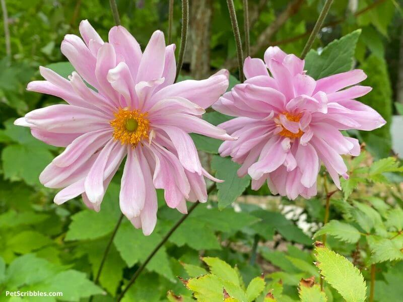 pink flowers can be good in your garden in Fall